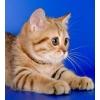 Шотландские котята золотого и серебристого окраса