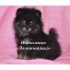 Шпиц миниатюрный немецкий (померанский)   щенки купить