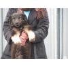 Собака Лана даром в добрые руки.