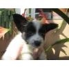 Сообразительный щенок папийон(мальчик)