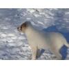 Среднеазиатской овчарки щенки