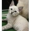 Тайский котенок - белый тигренок