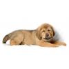 Тибетский мастифф-самая лучшая собака для охраны  Вашего дома