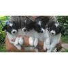 У нас есть щенки! ! !  папийон(собачка-бабочка)