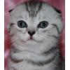 вислоухие котятки серебристые тигрята