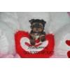 Йоркширский терьер кукольные щенки мини и стандарт беби фейс  купить -