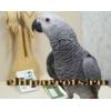 Жако (птенцы)  - выкормыши