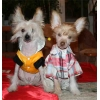 Очаровательные щенки китайской хохлатой