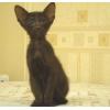 Ориентальные и сиамские котята