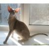 Ориентальные котята DE-WELD UA*