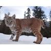 Продажа котят Канадской рыси и Европейской рыси.