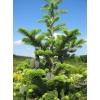 Продам декоративные хвойные,  лиственные и плодовые растения.