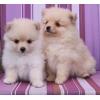 Продам очаровательных щенков карликового померанского шпица