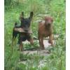 Продам щенков Карликового Пинчера,  Цвергпинчера.