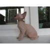 Продаются голубоглазые котята канадского сфинкса