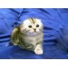 Продаются очаровательные шотландские вислоухие котята.