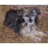 Продаются щенки китайской хохлатой собаки