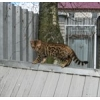 Бенгальский котенок