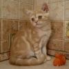 красный мраморный британский котёнок - котик