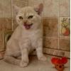 кремовый мраморный британский котёнок-котик