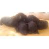 пуделя карлики коричневые