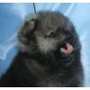 щенок померанского шпица редкого окраса