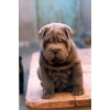 Шарпей продам щенков голубого окраса.