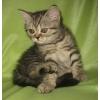 """Шотландские плюшевые котята классических и редких """"вискасных"""" окрасов."""