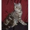 Шотландский котенок мраморного окраса (скоттиш-страйт)