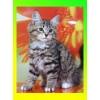 Сибирские котята для дома и души,  ласковые