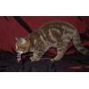 Скоттиш-страйт,   шоколадная мраморная кошка