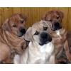 Три щенка южноафриканского бурбуля.