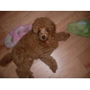Яркий щенок минипуделя ждет хозяина