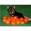 Йоркширского терьера щенок,  девочка